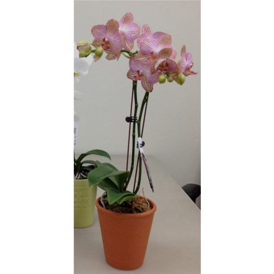 5-inch-everyday-orchids-by-flowerama